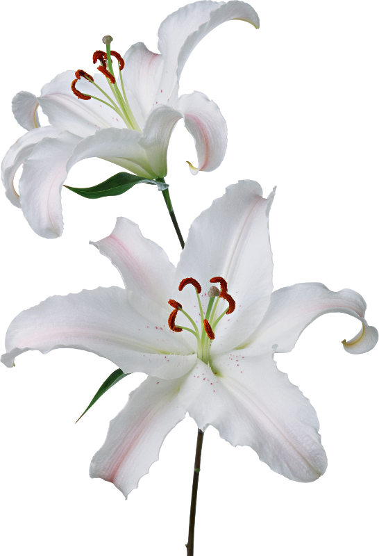 значение белой лилии язык цветов НеоСелам