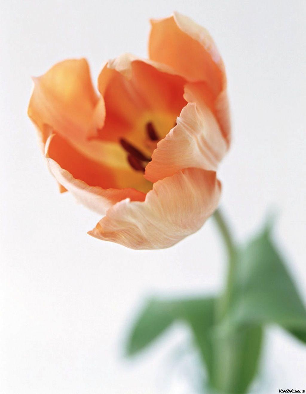 оранжевый тюльпан