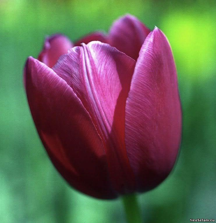 пурпурный тюльпан