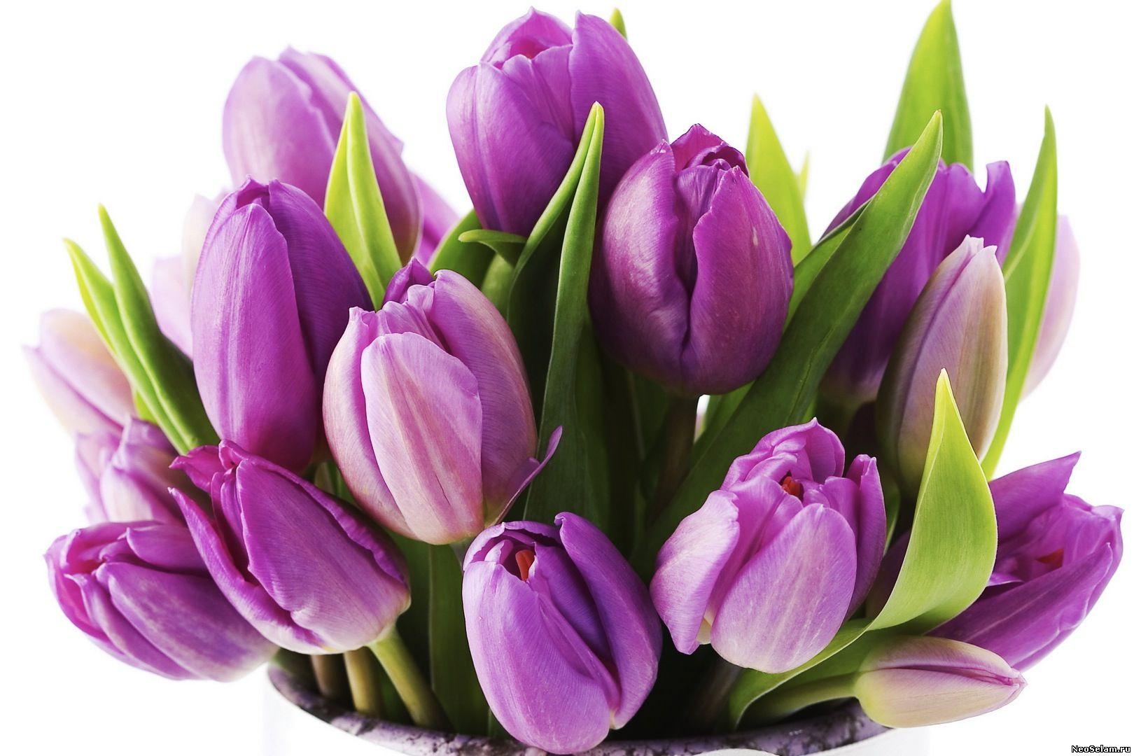 фиолетовый или сиреневый тюльпан